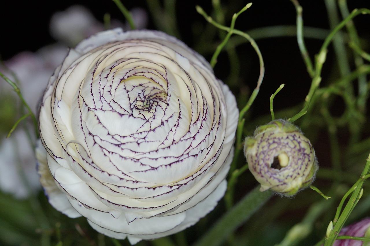 Ranunculusblossombloomwhiteflower Free Photo From Needpix