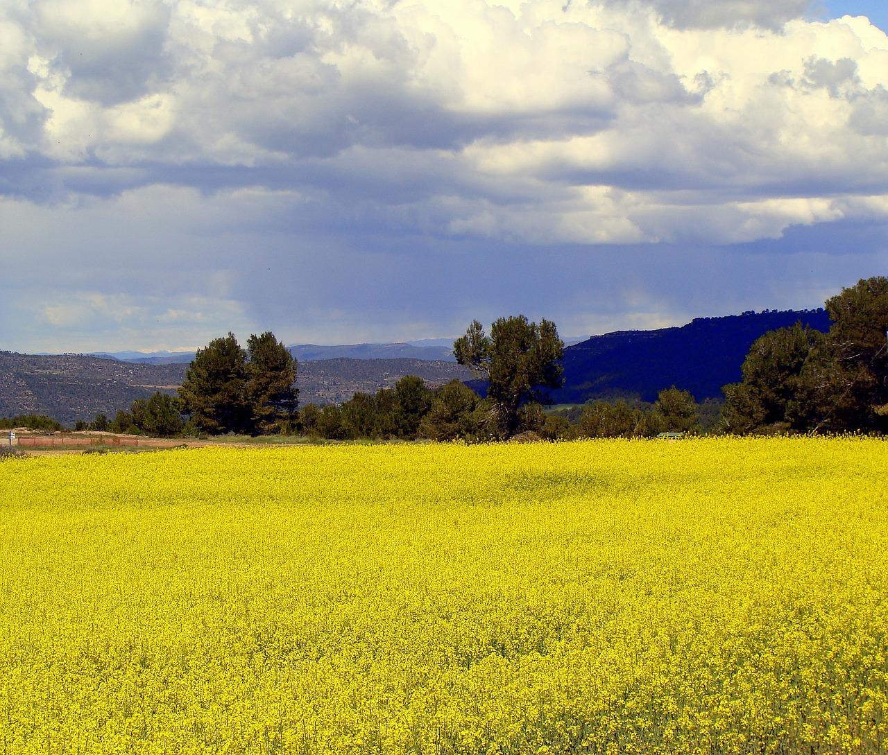 Rapeplantationagricultureplantslandscape Free Photo From