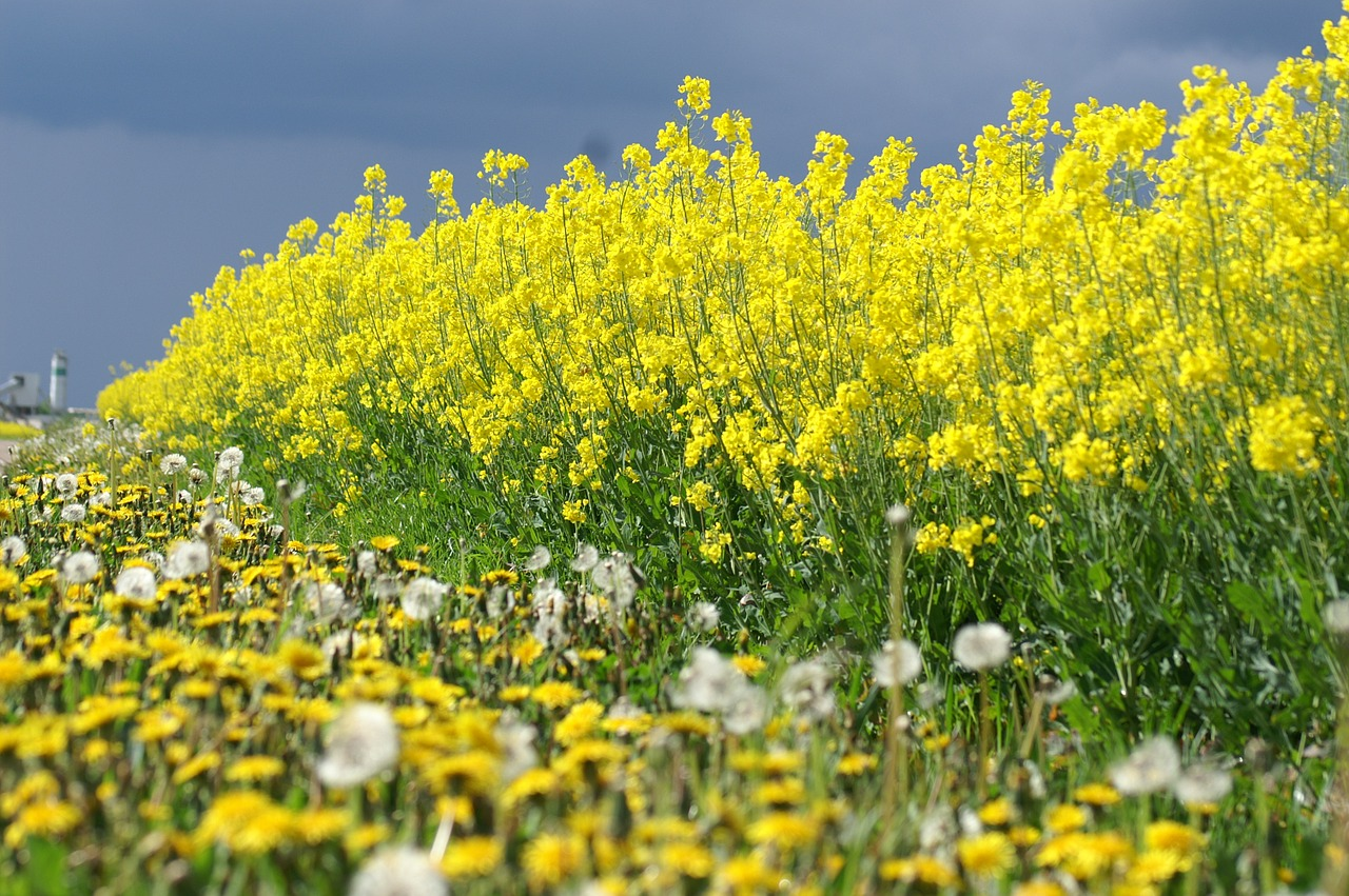 rapeseed yellow flowers summer free photo