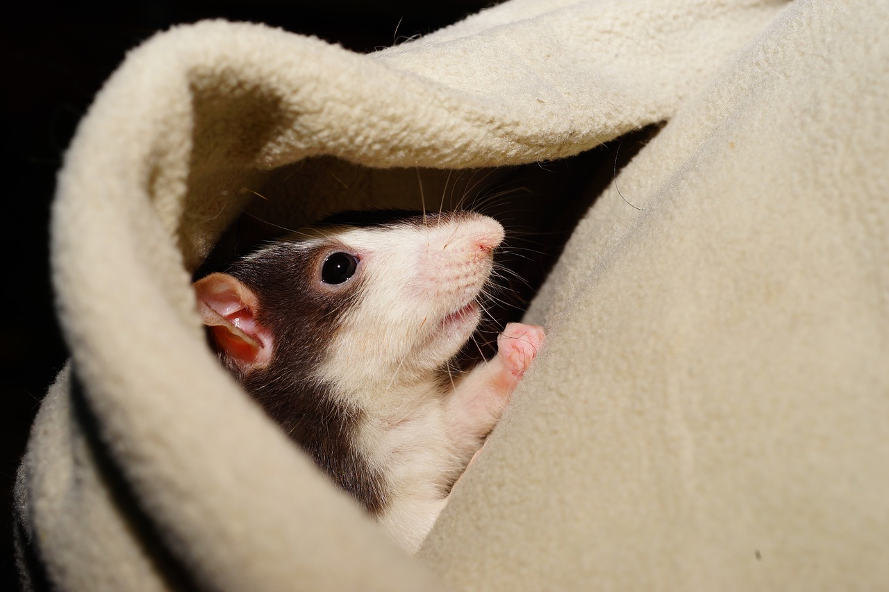rat comfortable cuddly free photo