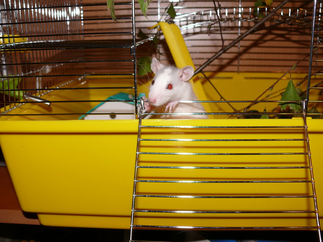 rat white female free photo