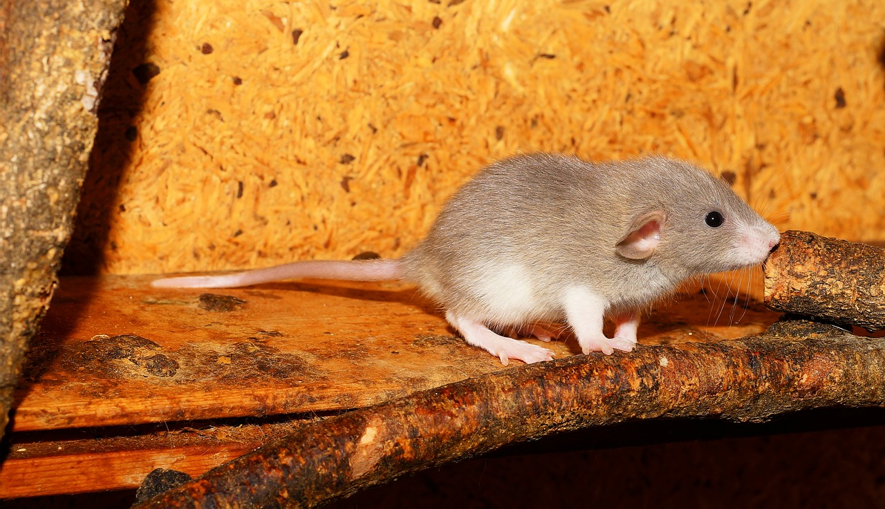 rat color rat young animal free photo