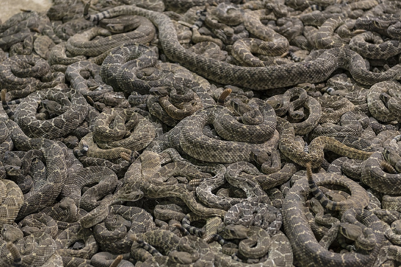rattlesnakes pit vipers free photo