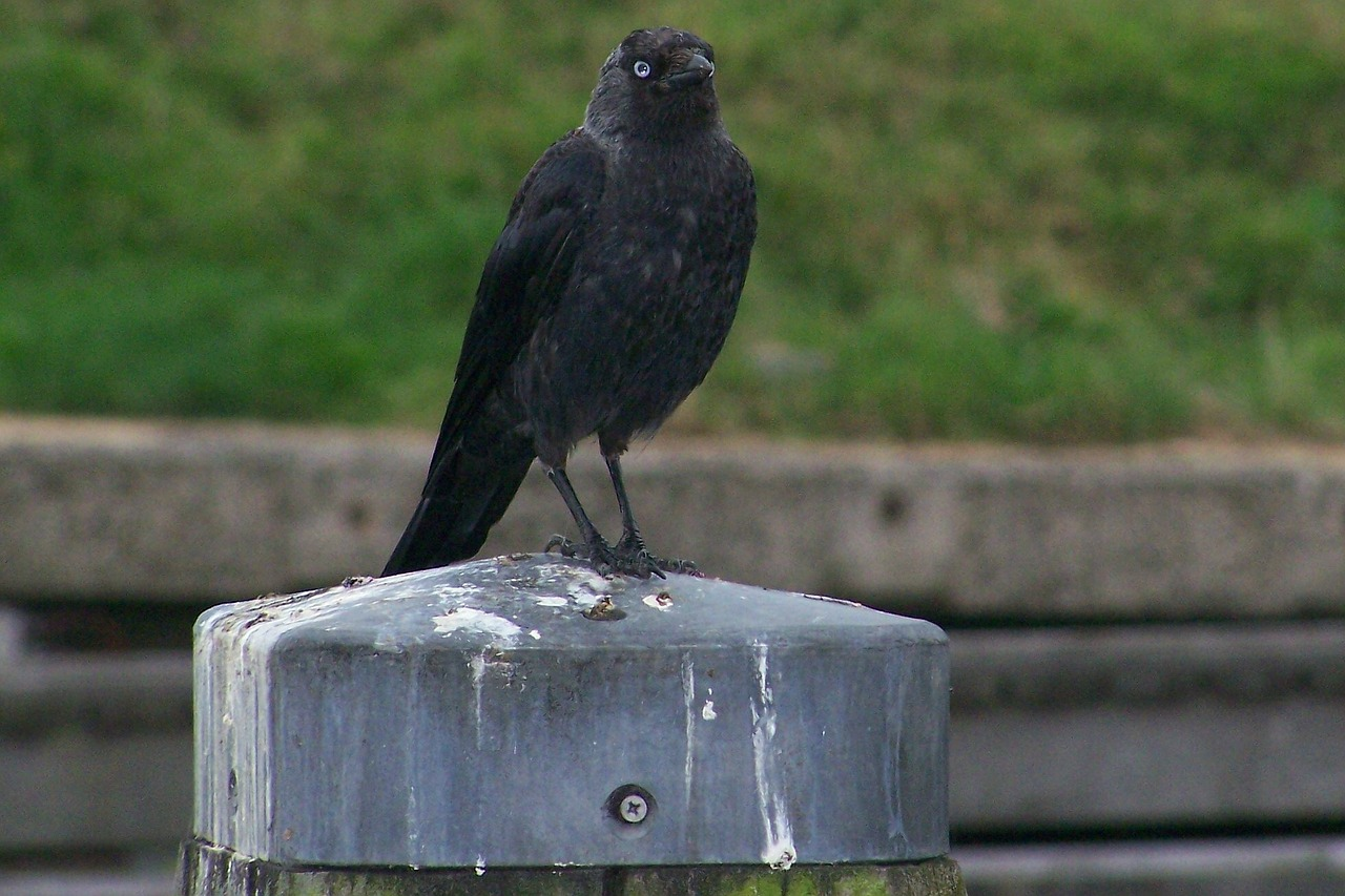 raven black carrion crow free photo
