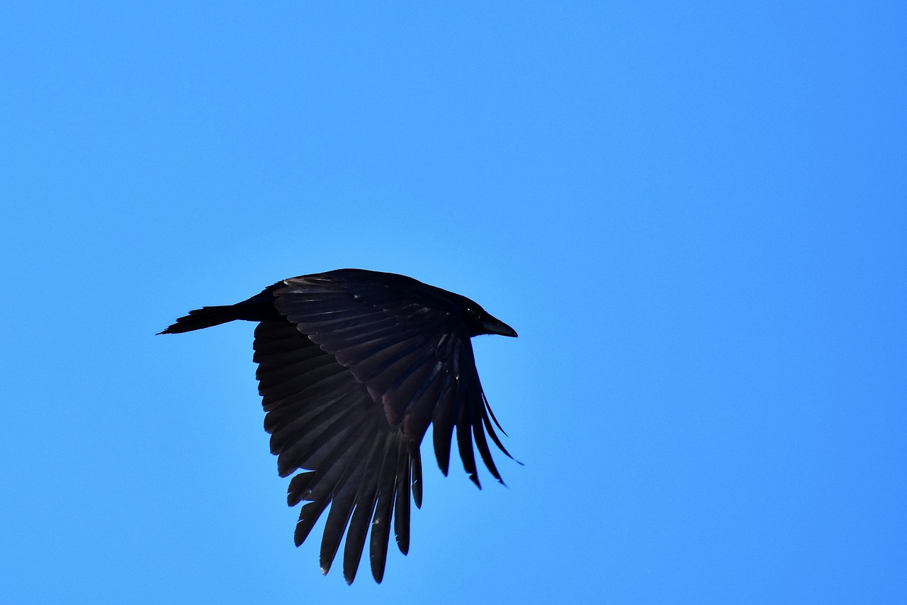 raven, crow, raven bird, bird, feather, black, bill, carrion crow, common raven, animal, scavengers, black bird, plumage, flight, flying,free pictures, free photos, free images, royalty free, free illustrations, public domain