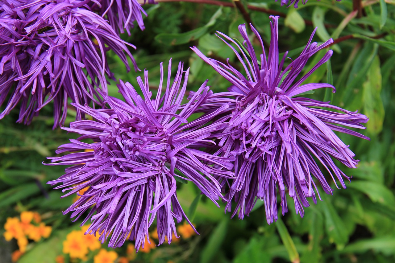 rays aster aster blossom free photo