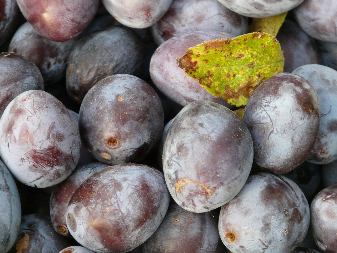 real plum plum prunus domestica free photo