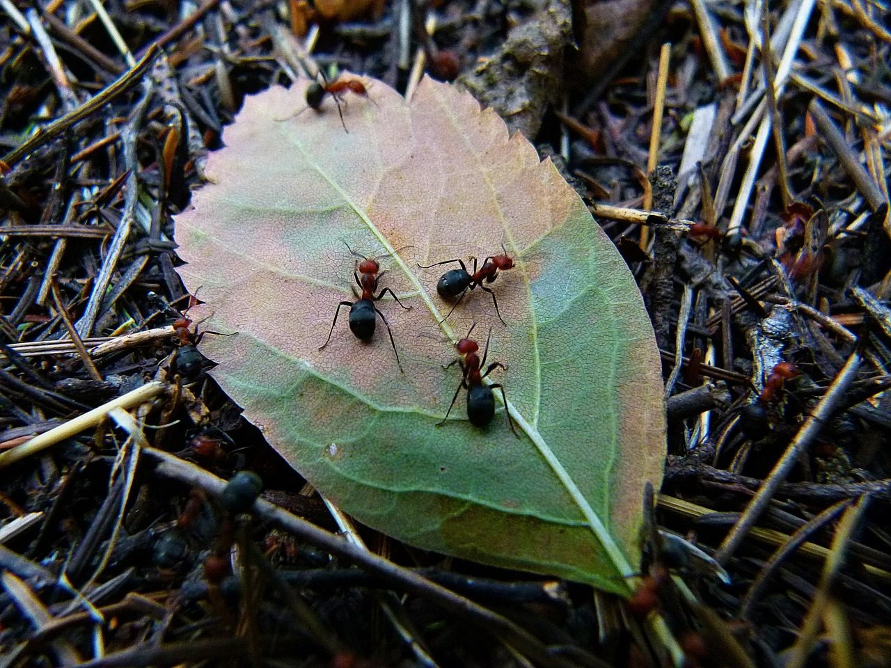red wood ant busy workers free photo