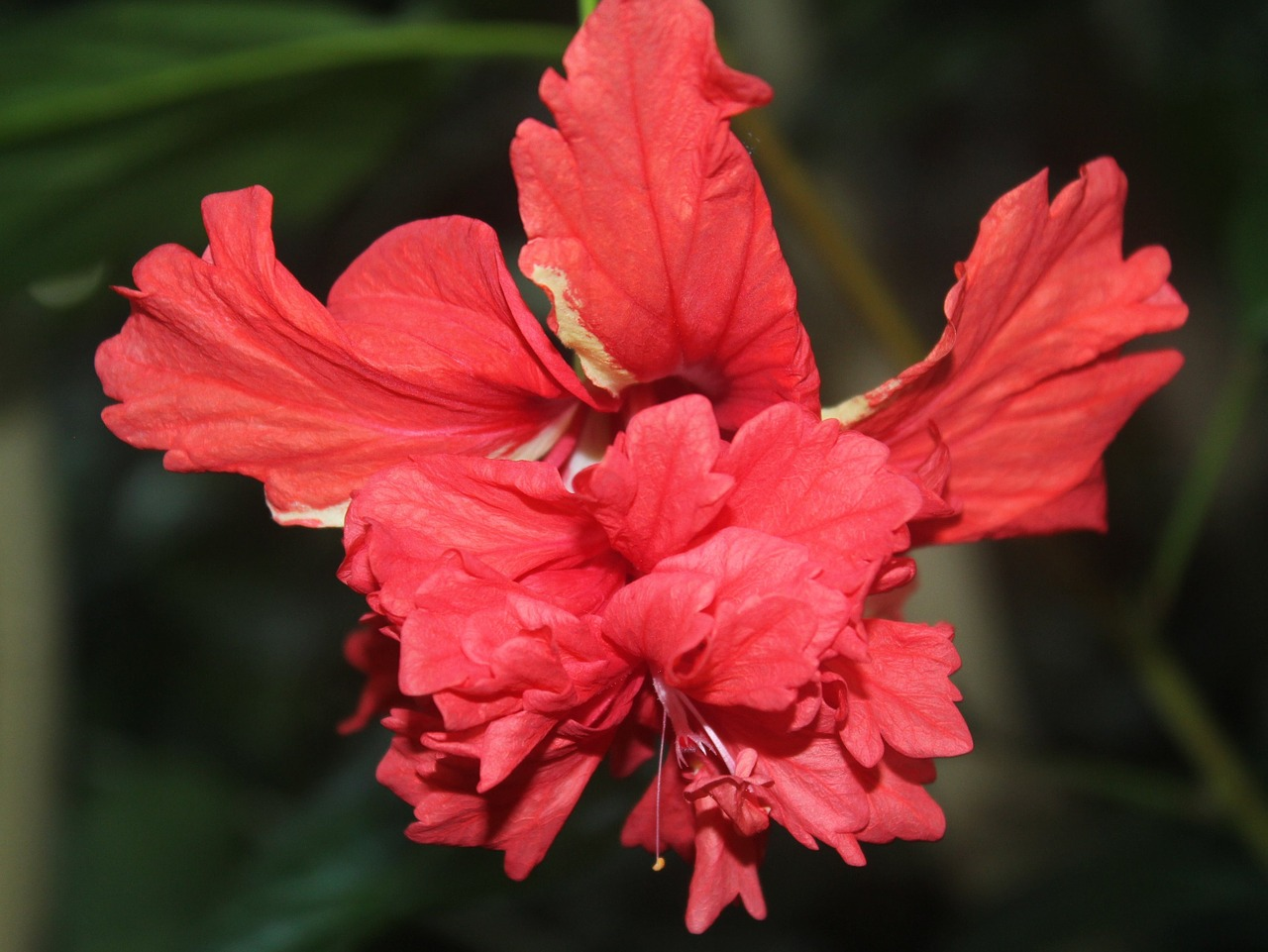 red flower beautiful free photo