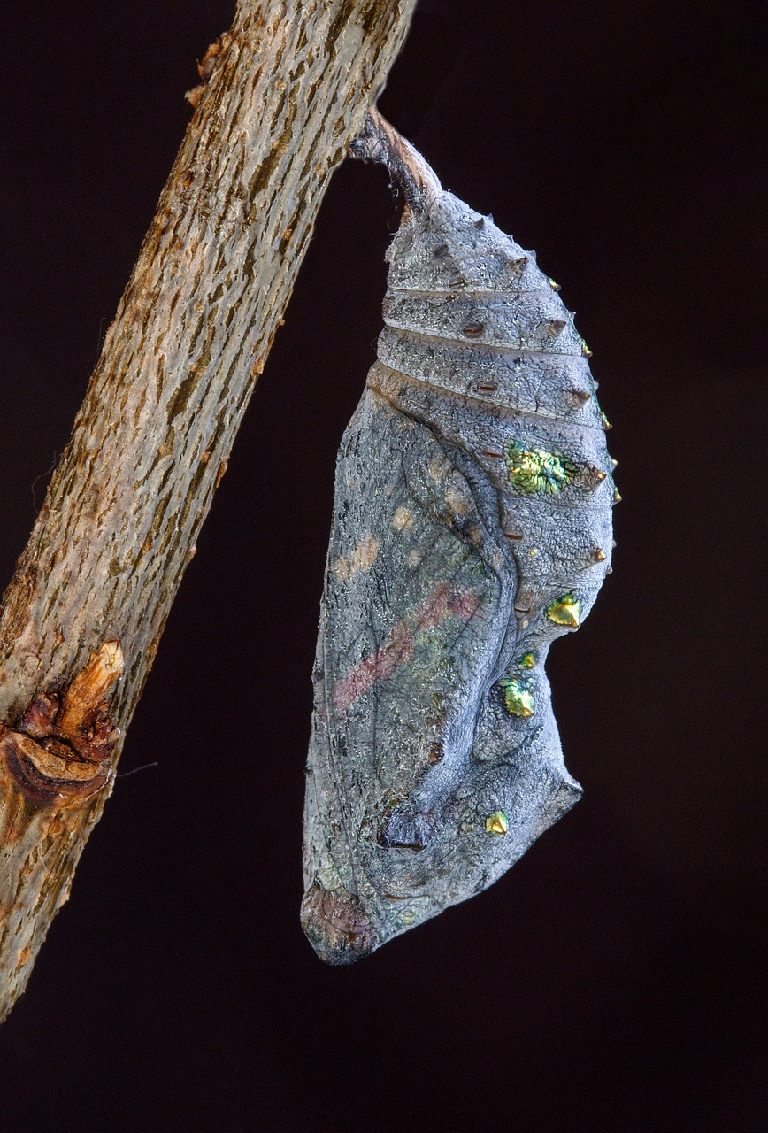 red admiral  pupa  cocoon free photo