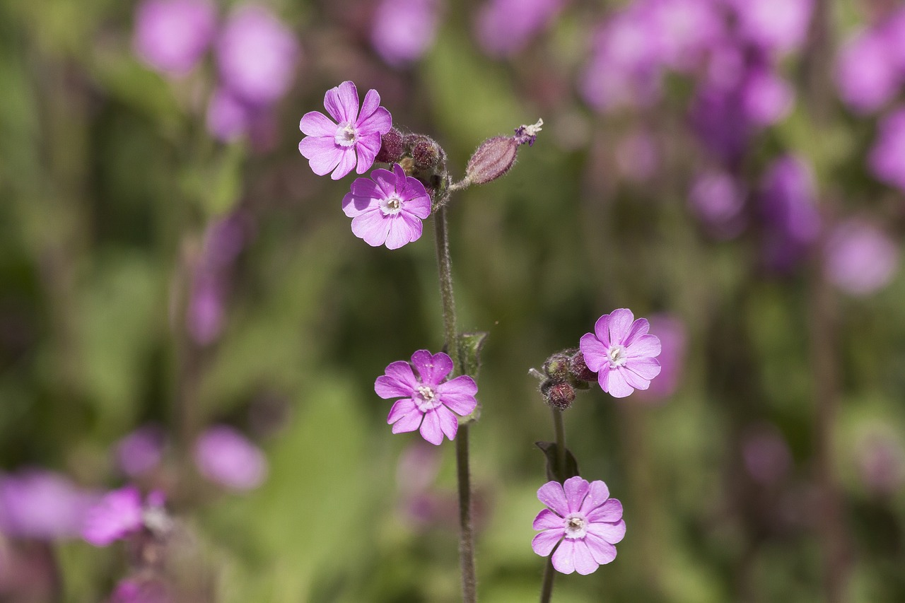 red campion  silene dioica  red catchfly free photo