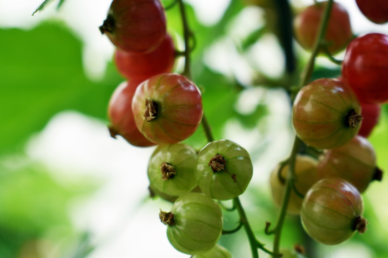 red currant  fruit  blackcurrant free photo