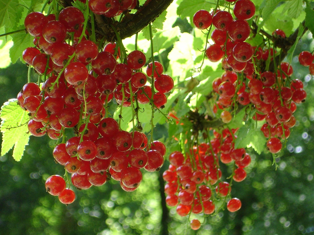red currant currant ribes rubrum free photo