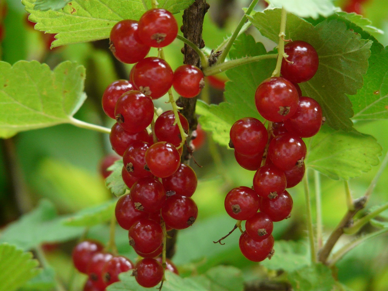 red currant currants gooseberry greenhouse free photo