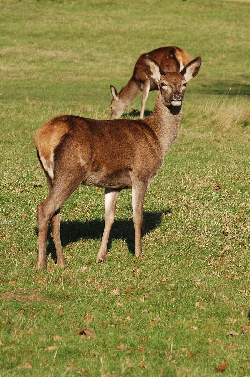 red deer deer cervus elaphus free photo