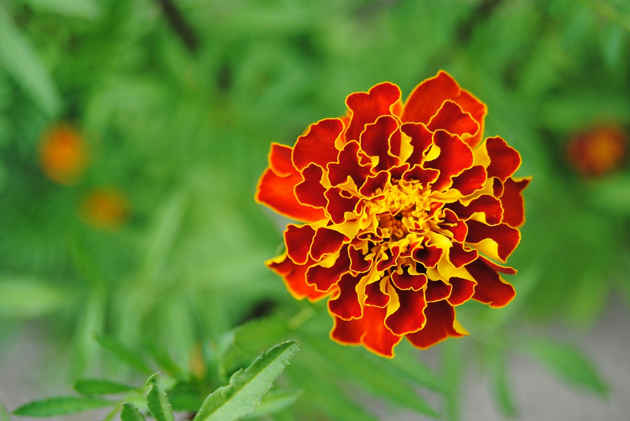 red flower,yellow flower,orange flower,fire flower,marigold,close-up,flora,beautiful flower,blooming,plant,summer,petals,free pictures, free photos, free images, royalty free, free illustrations, public domain