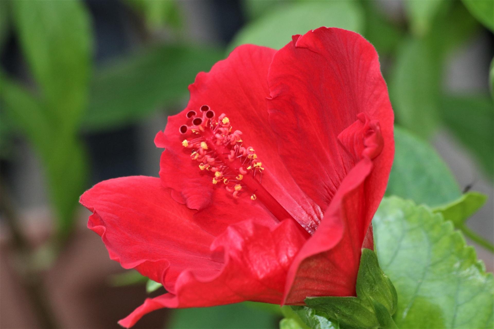 Natureplantsflowersrednbspflowersflora Free Photo From