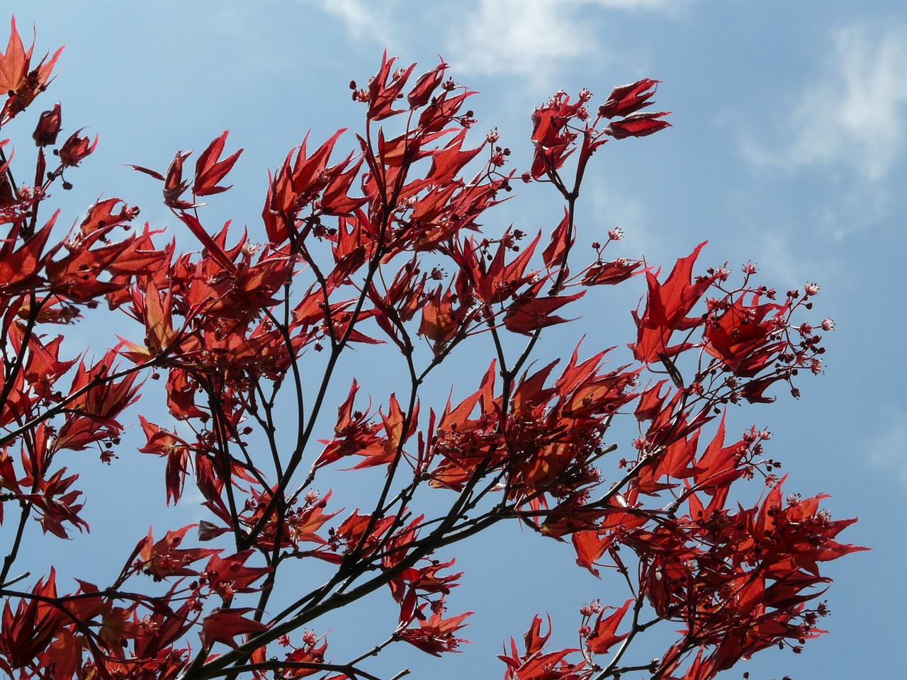 red maple ornamental plant fan maple free photo