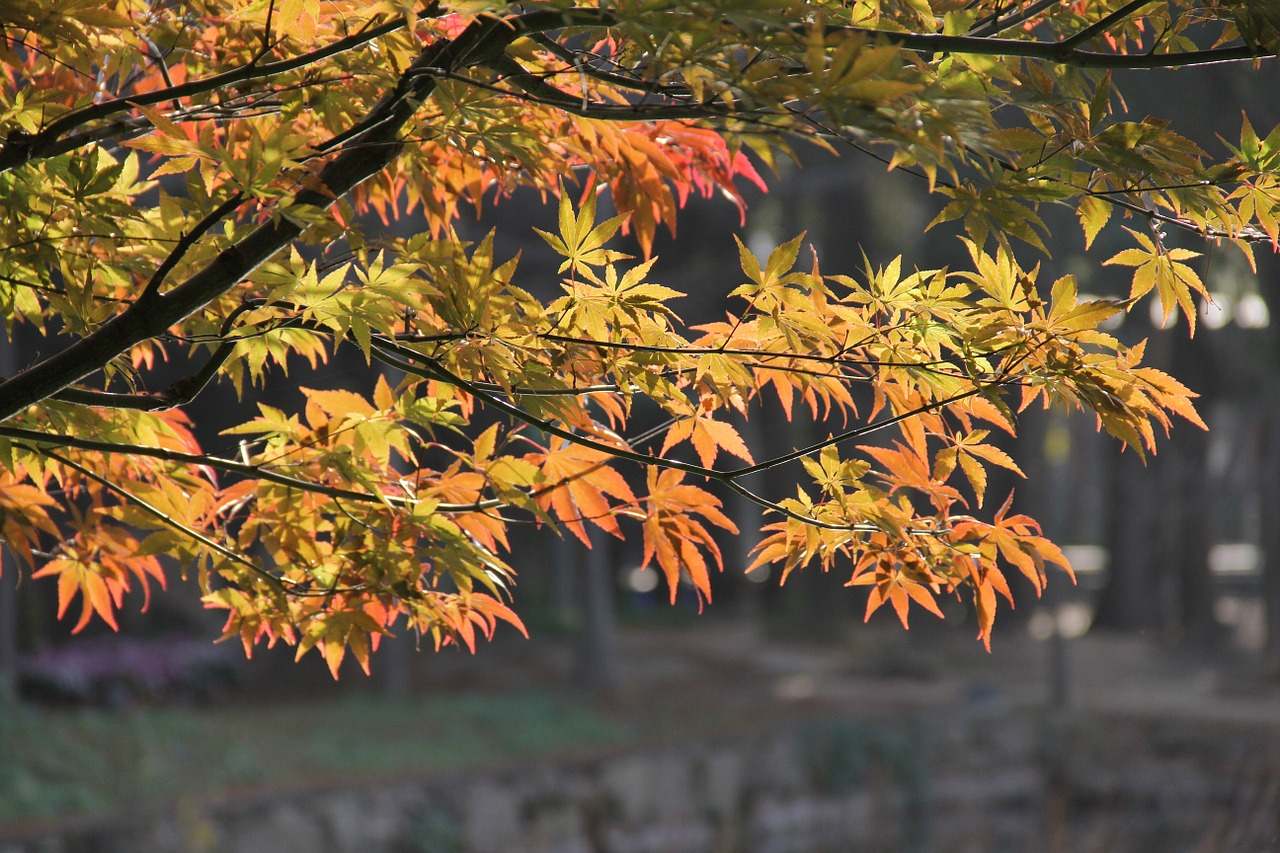 Red maple,spring,china wind,garden,plant configuration - free photo ...