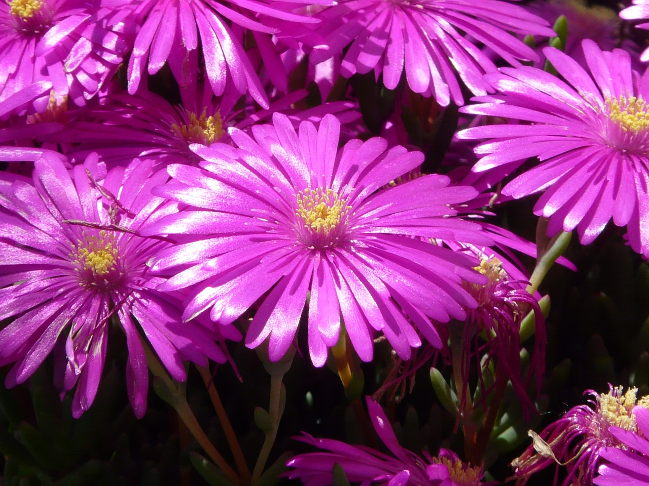red mittagsblume ice plant flower free photo