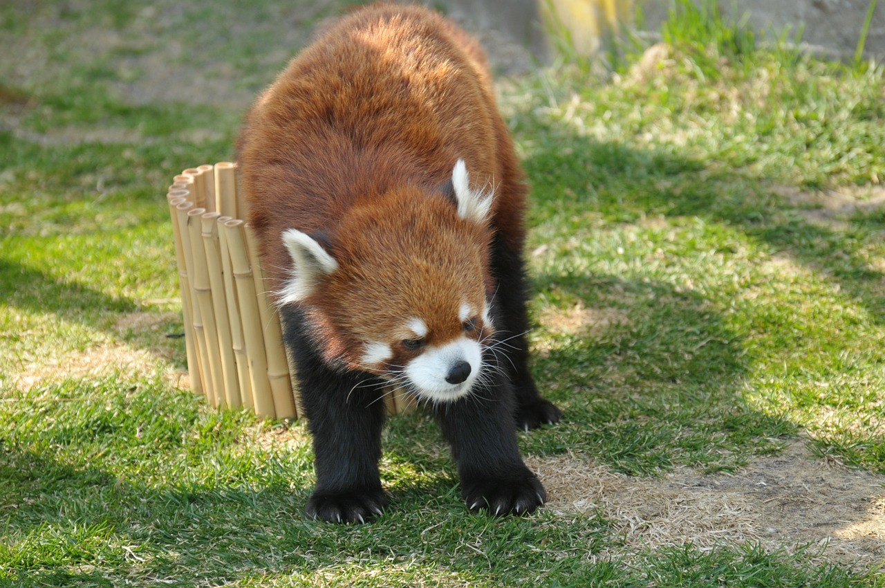 red panda,zoo,cute animals,free pictures, free photos, free images, royalty free, free illustrations, public domain