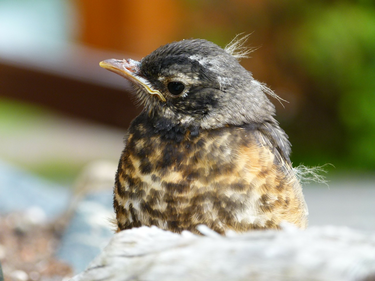 red robin bird animal feathered nature free photo from