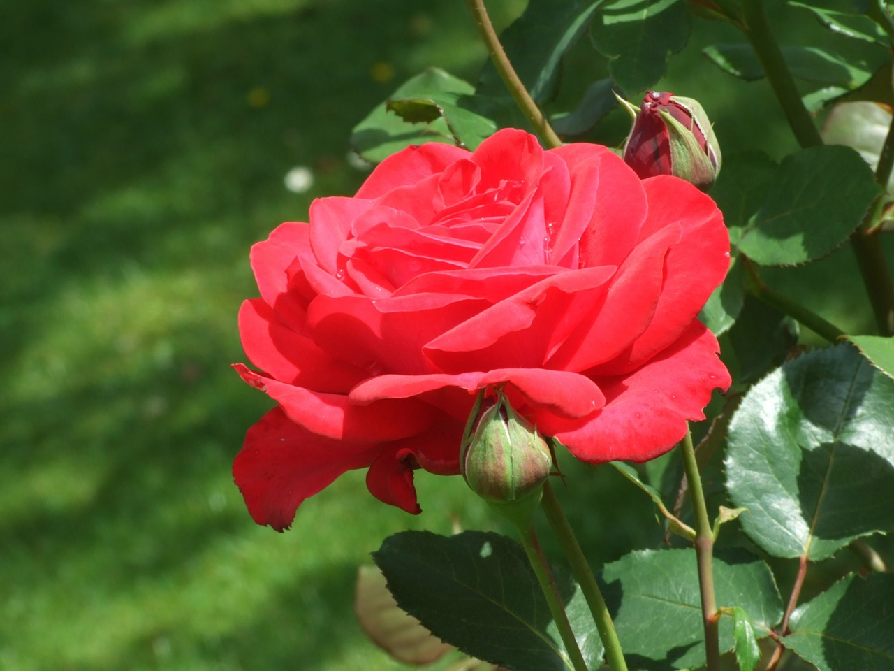 red rose plant blossom free photo