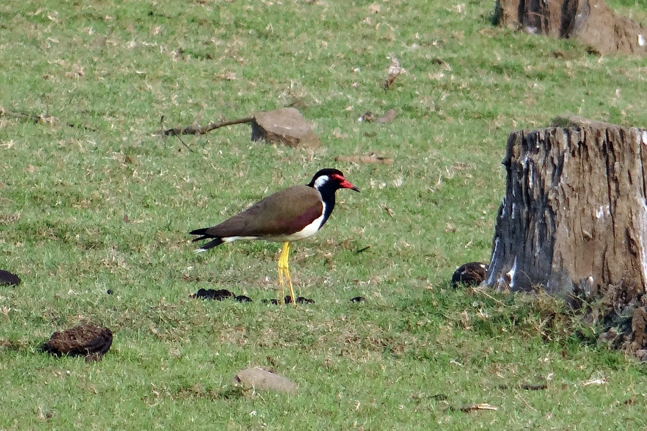 red-wattled lapwing vanellus indicus lapwing free photo