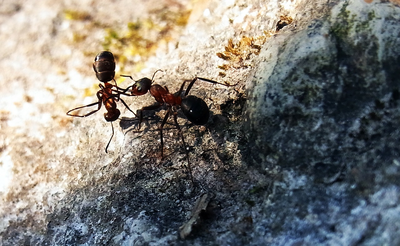 red wood ant formica rufa insect free photo