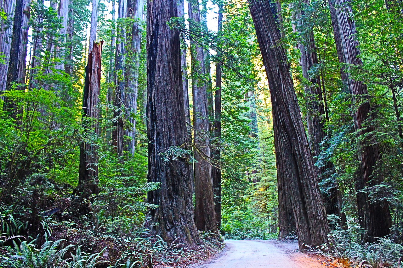 redwood national park,california,usa,redwood,travel,tree,pine,nature,forest,green,scenery,wilderness,offroad,tourism,hiking,free pictures, free photos, free images, royalty free, free illustrations, public domain