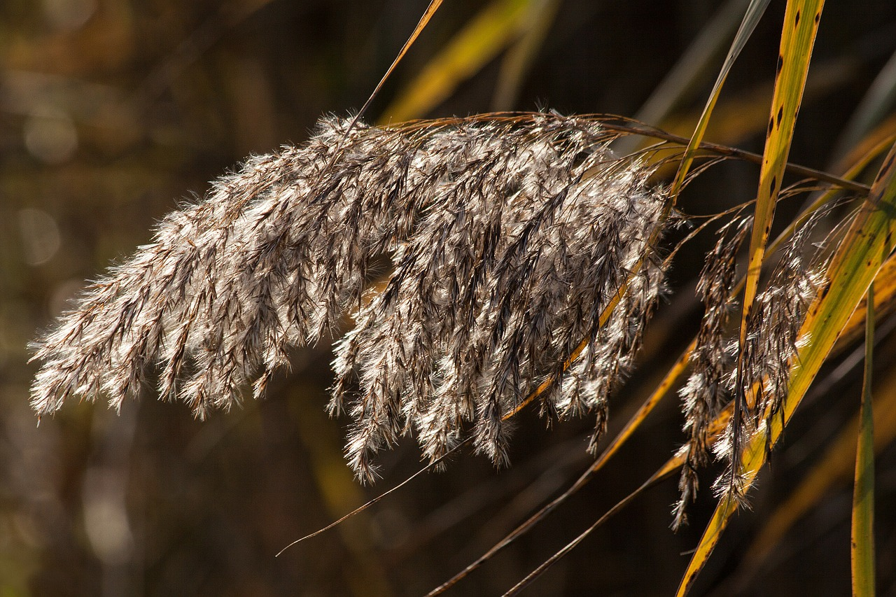 reed phragmites australis grass free photo