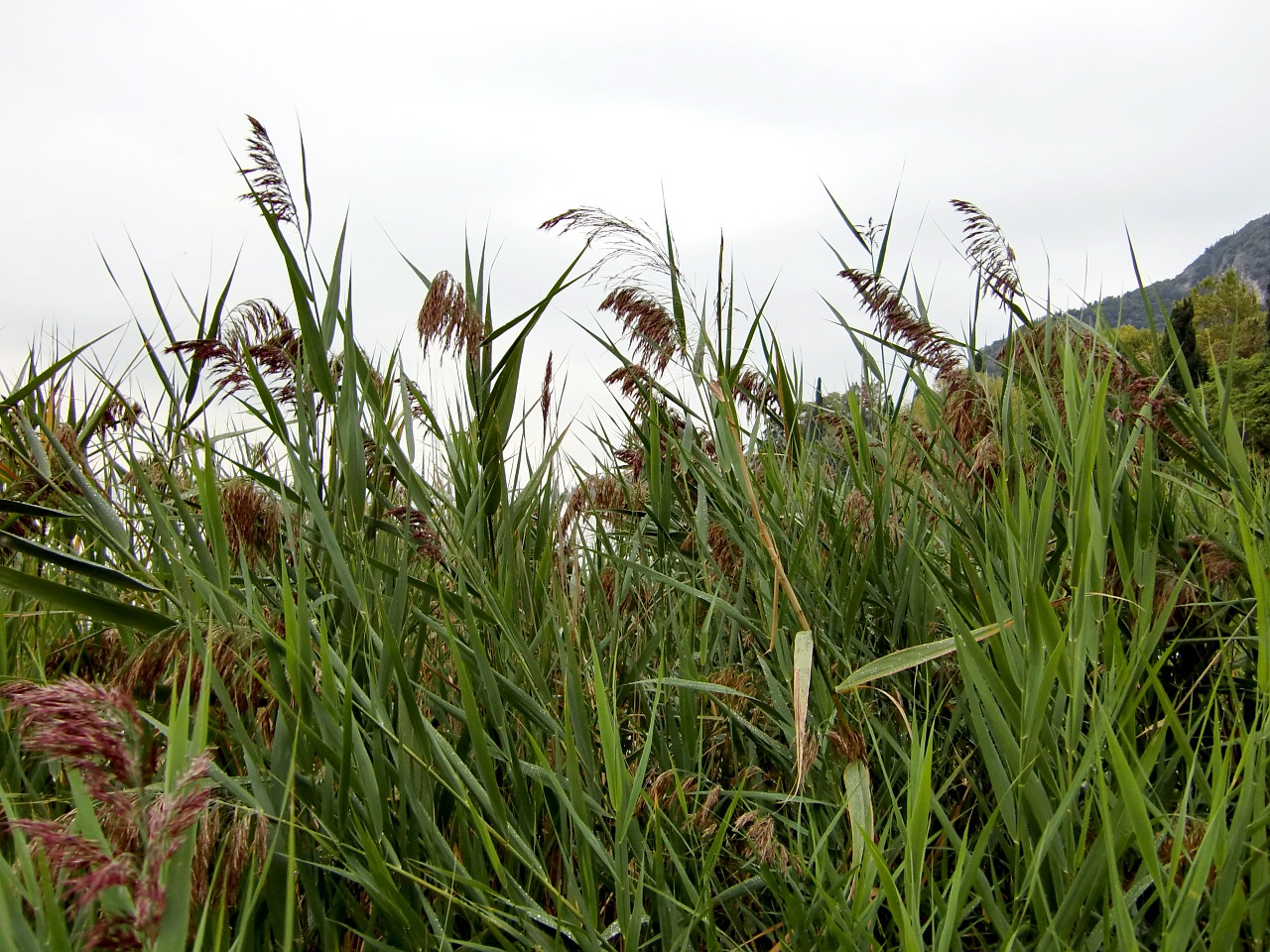 reed grass green free photo