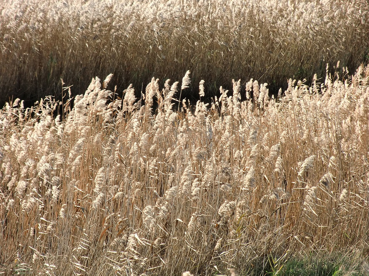 reeds water nature free photo