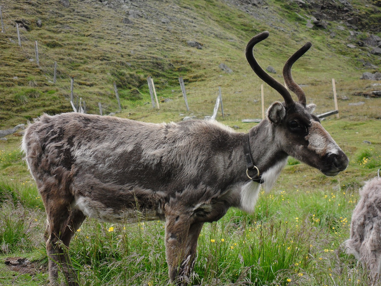 reindeer,iceland,shedding,free pictures, free photos, free images, royalty free, free illustrations, public domain
