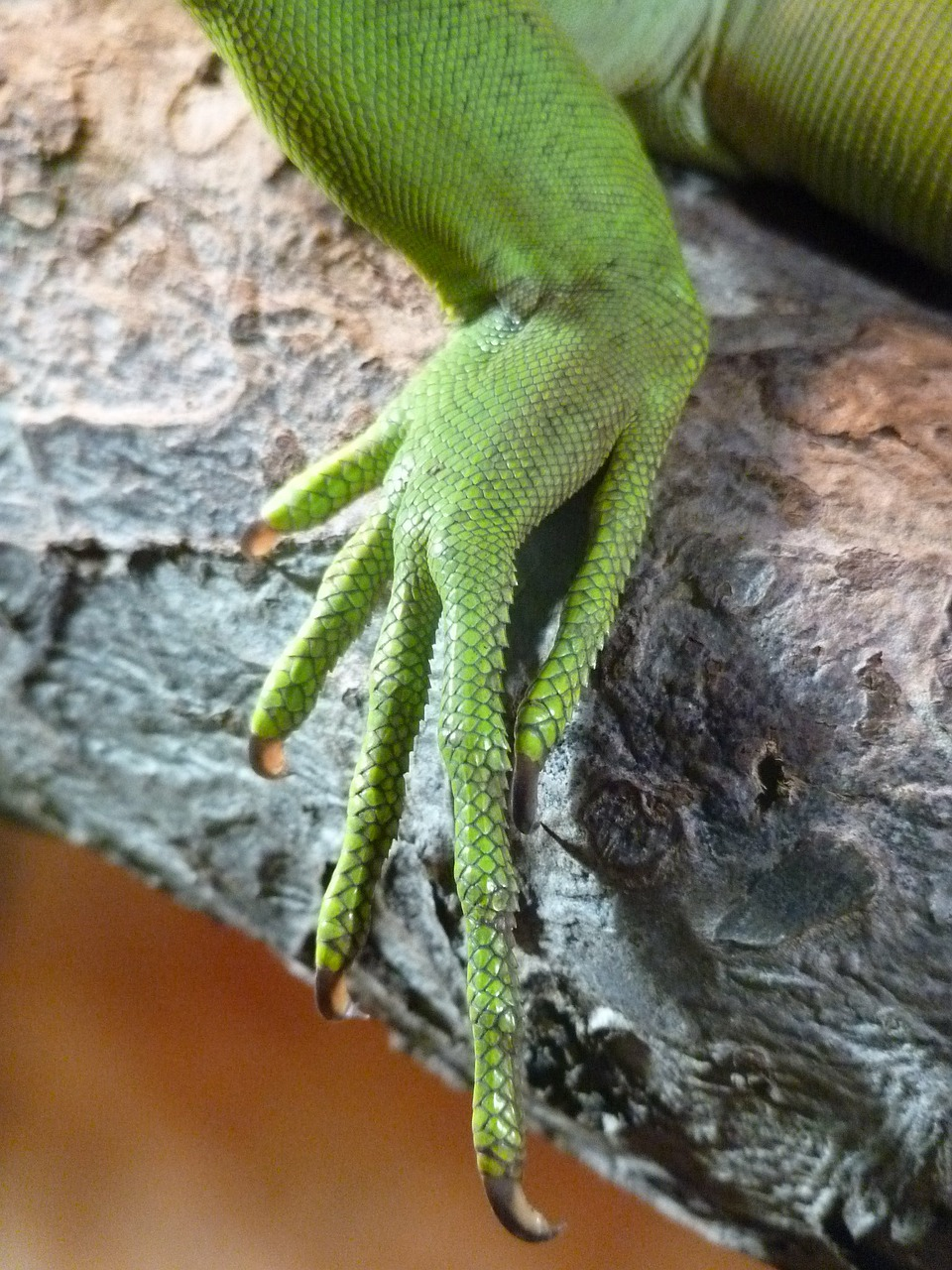 reptile foot claw free photo