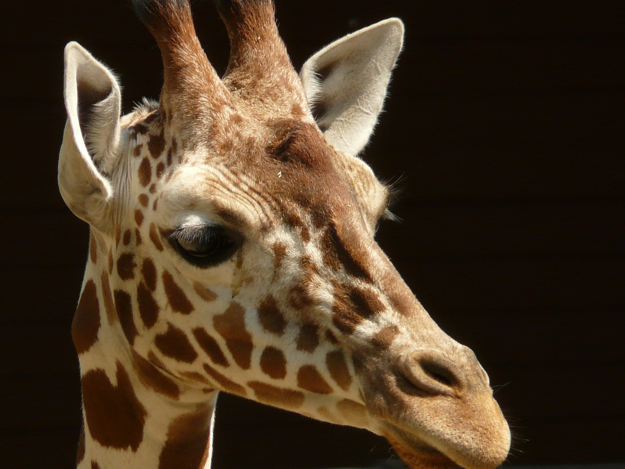 reticulated giraffe giraffe africa free photo