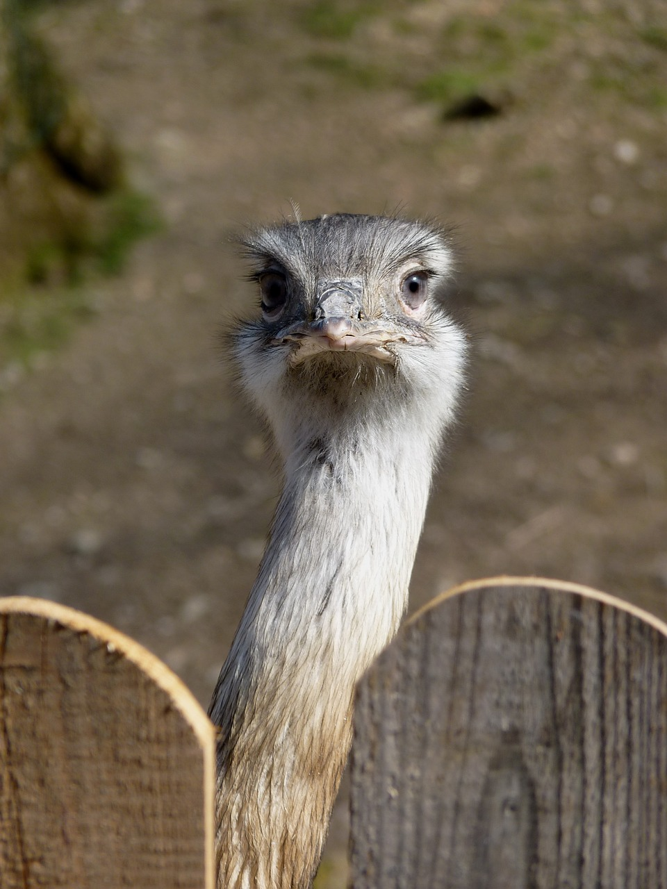 rhea bird,flightless bird,bird,head,bill,big bird,animal,flightless,neck,cheeky,nature,curious,fence,free pictures, free photos, free images, royalty free, free illustrations