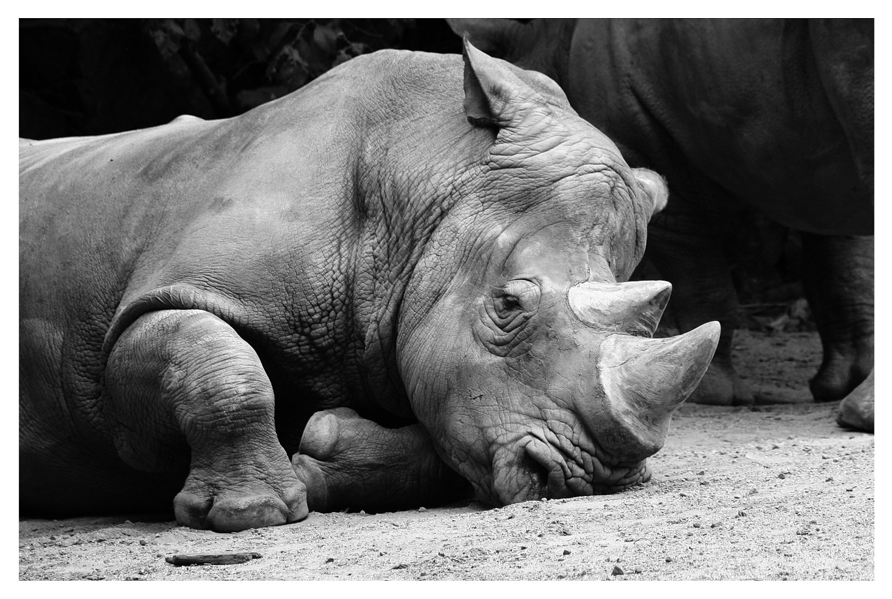 rhino animals zoo free photo