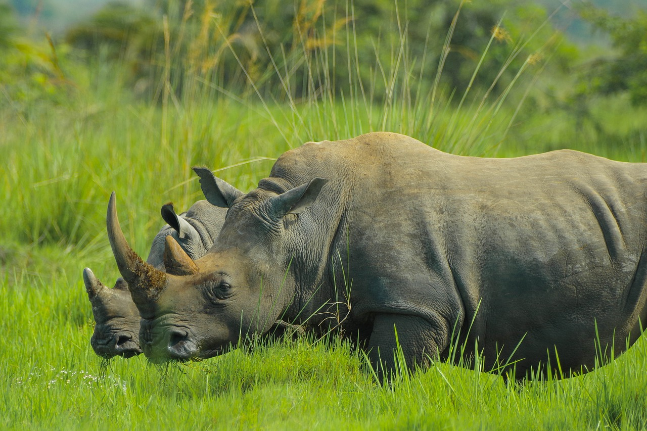 rhino uganda nature photos free photo