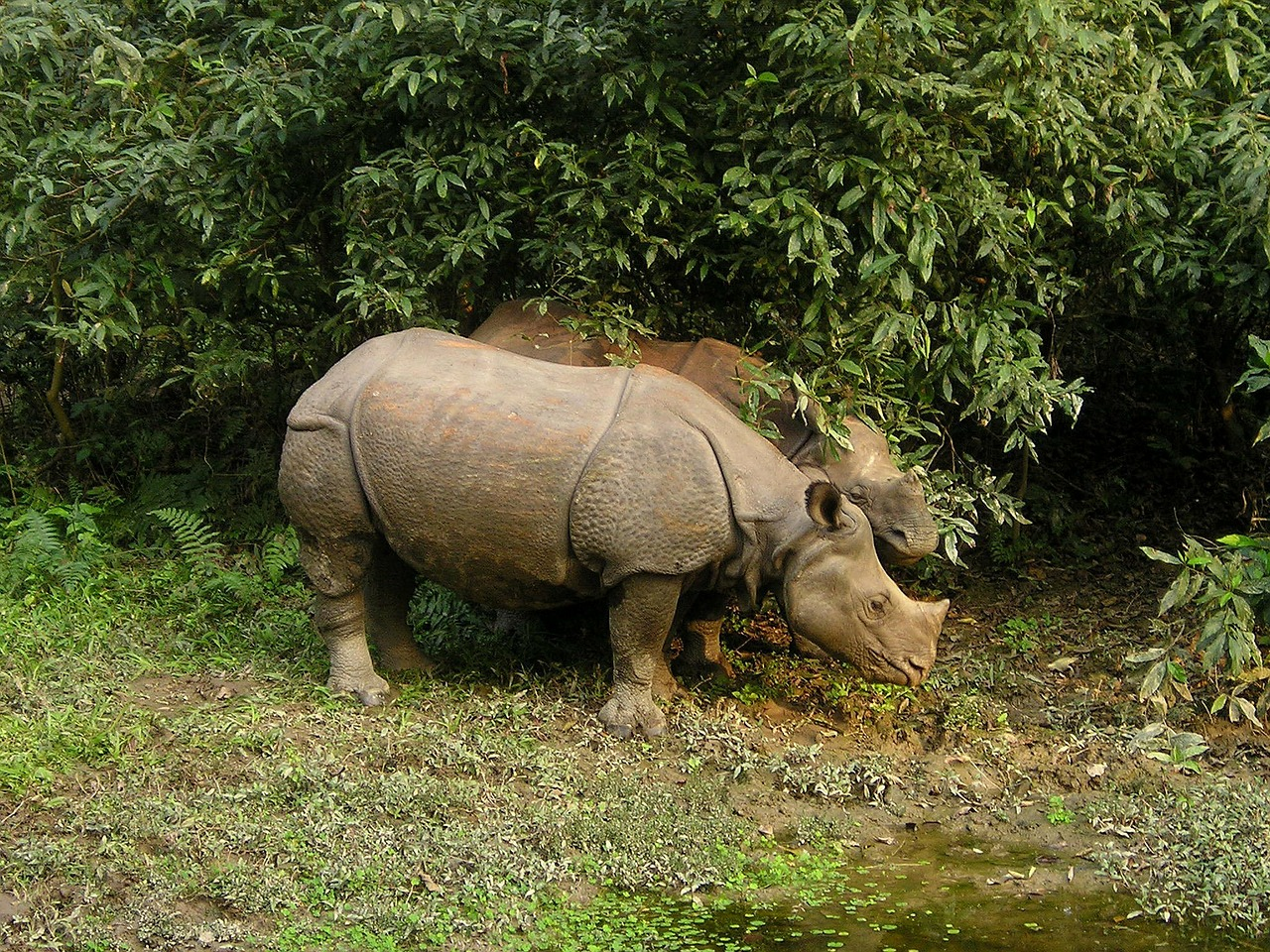 rhino nepal national park free photo
