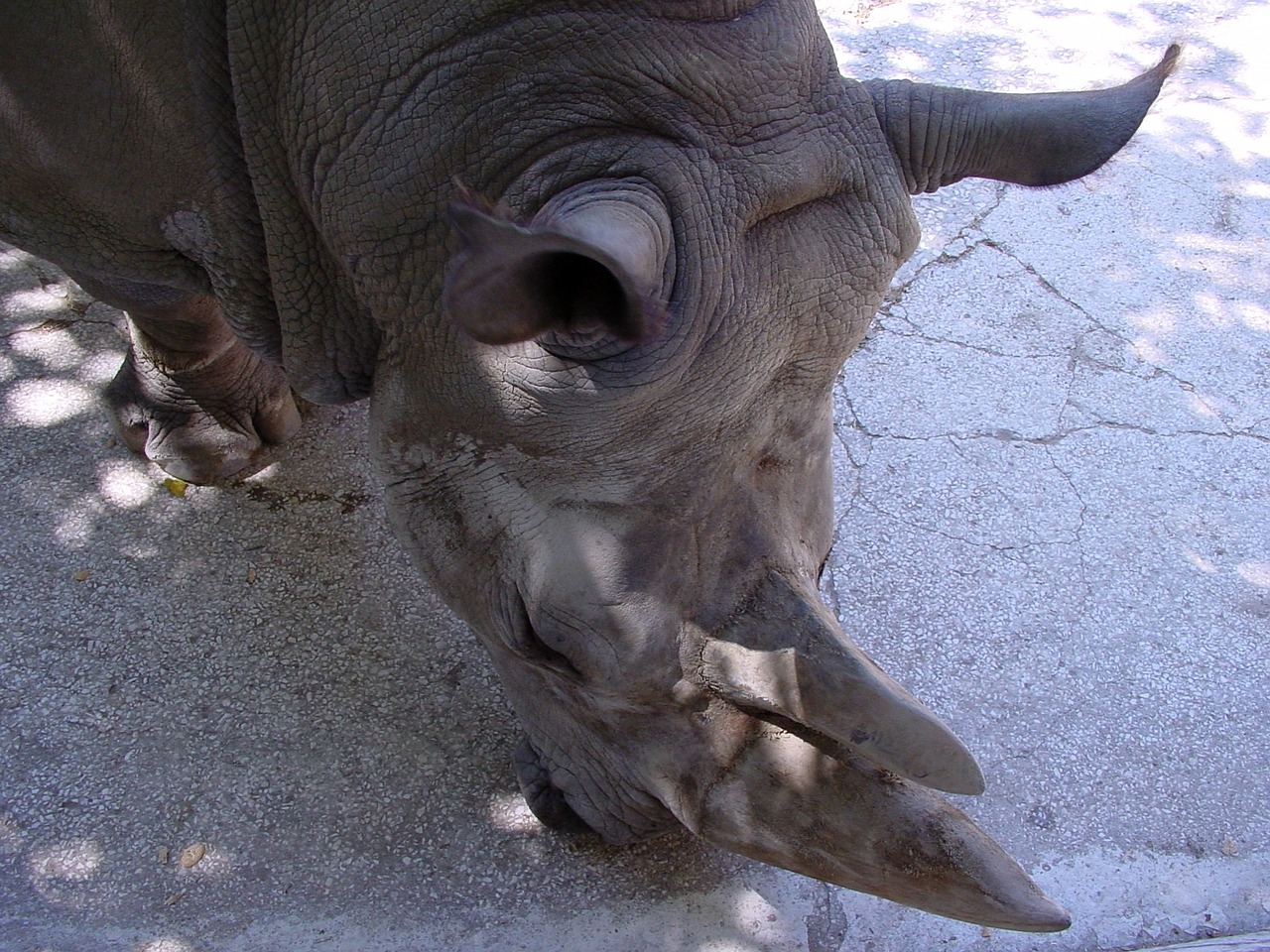 rhinoceros zoo animal free photo