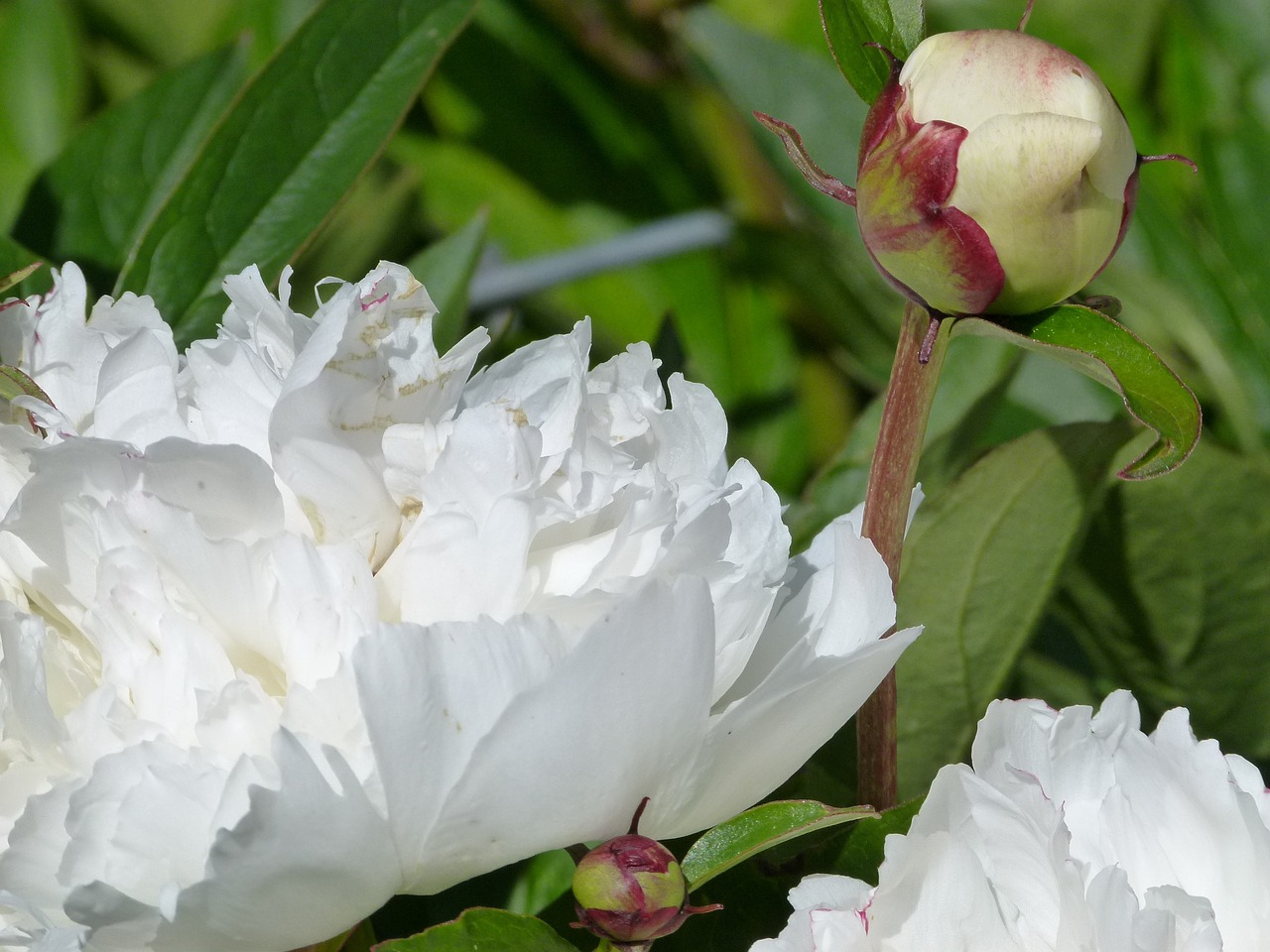 rhododendron white flower free photo