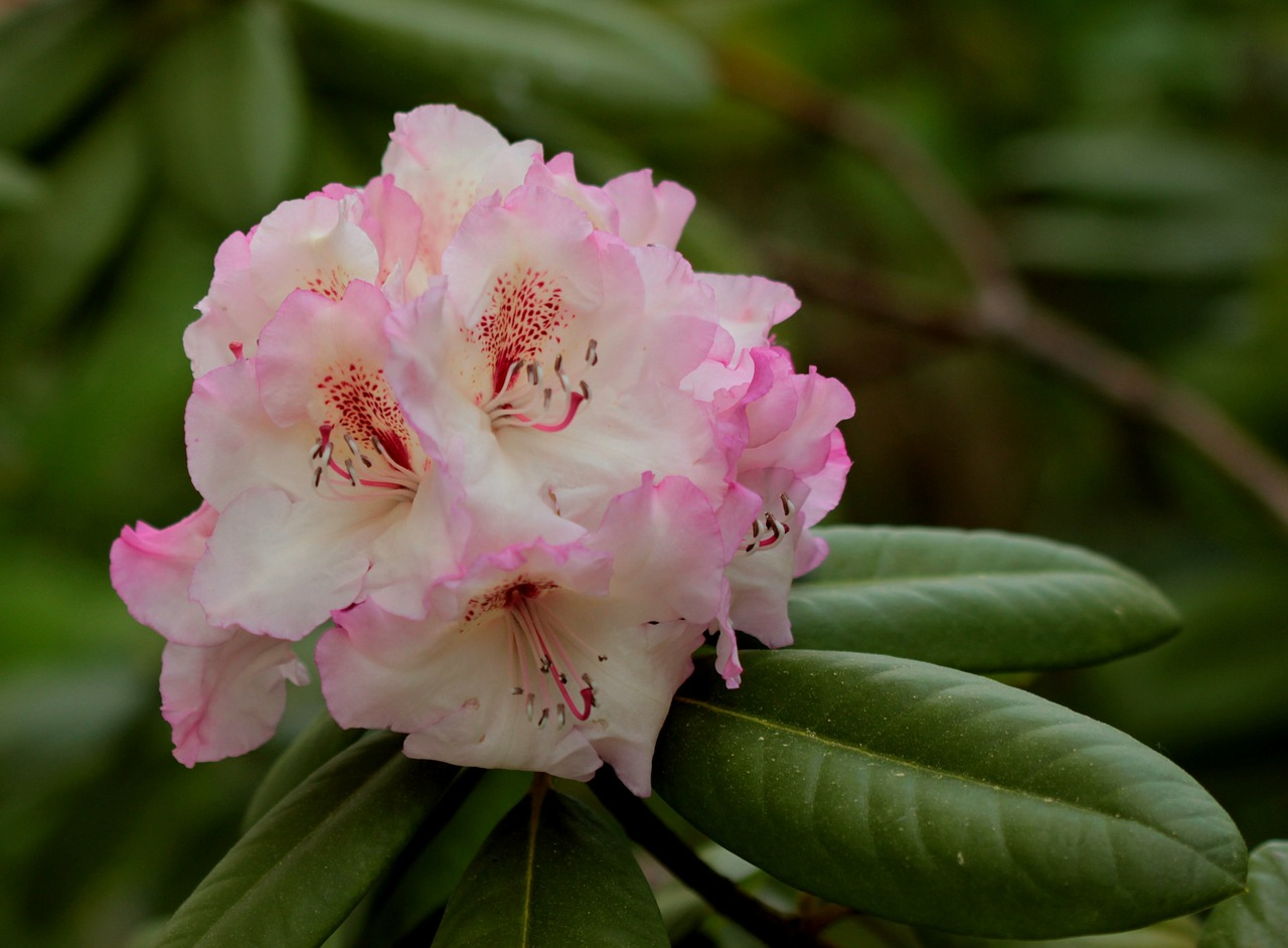rhododendron double flower tender free photo