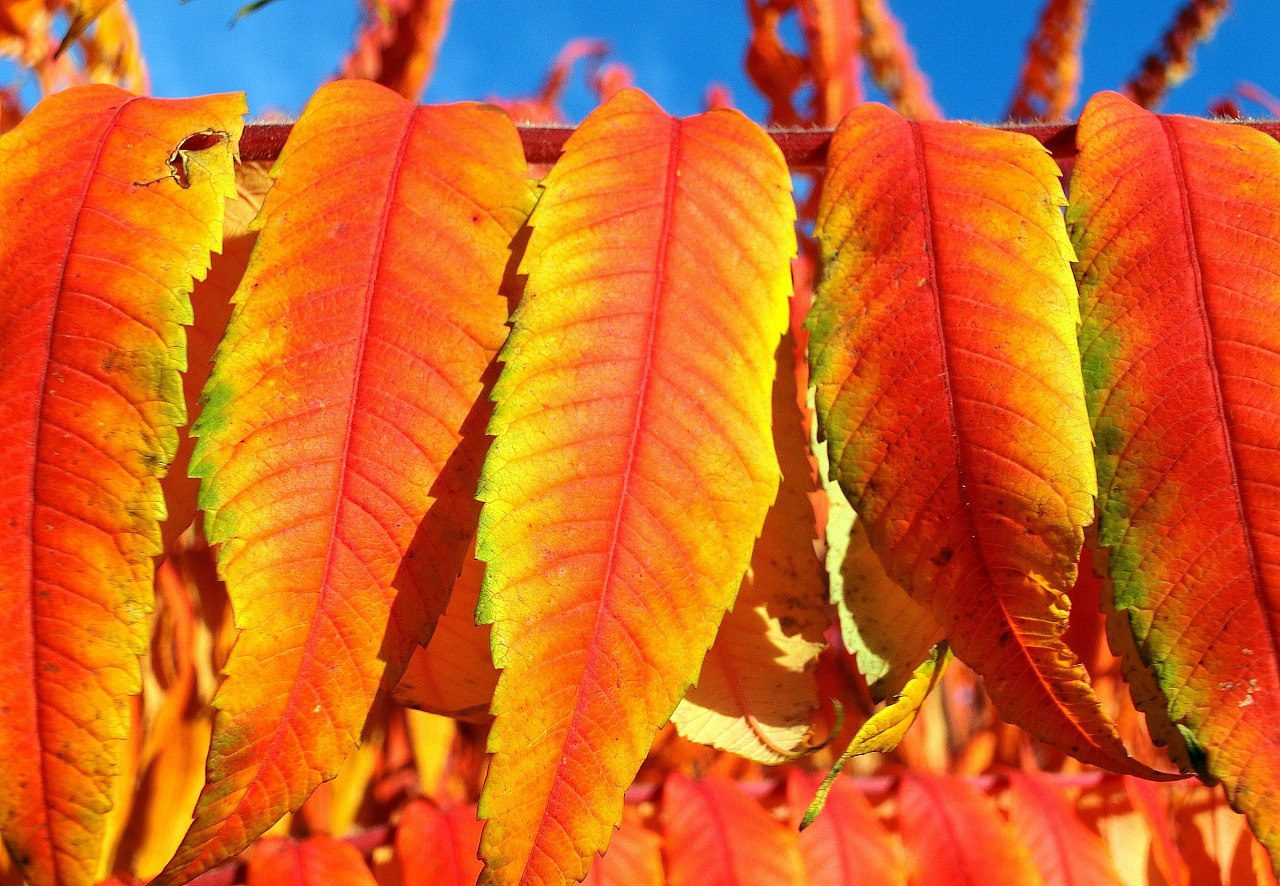 rhus vinegar tree leaves deciduous free photo