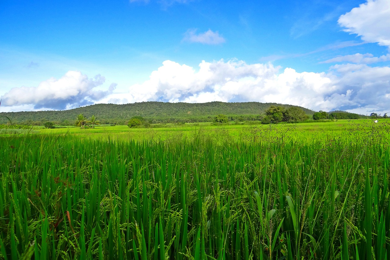 rice fields crops free photo