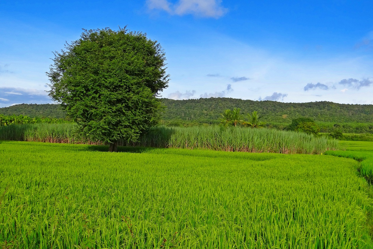 rice,paddy,cultivation,agriculture,field,farm,rural,asian,countryside,farmland,grain,farming,tropical,agricultural,landscape,scenic,hills,sky,blue,hubli-sirsi road,mundgod,karnataka,india,free pictures, free photos, free images, royalty free, free illustrations, public domain