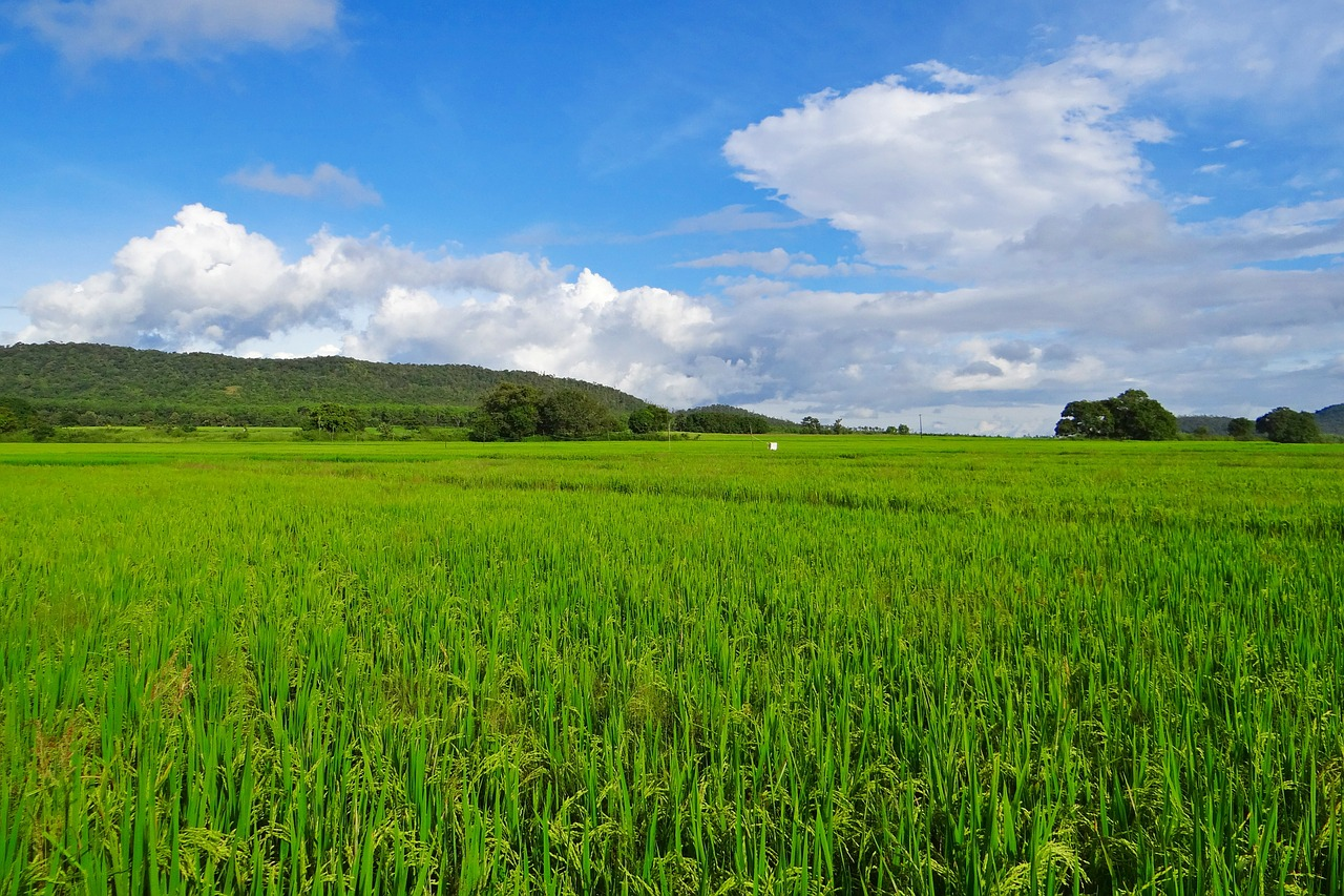 rice paddy cultivation free photo