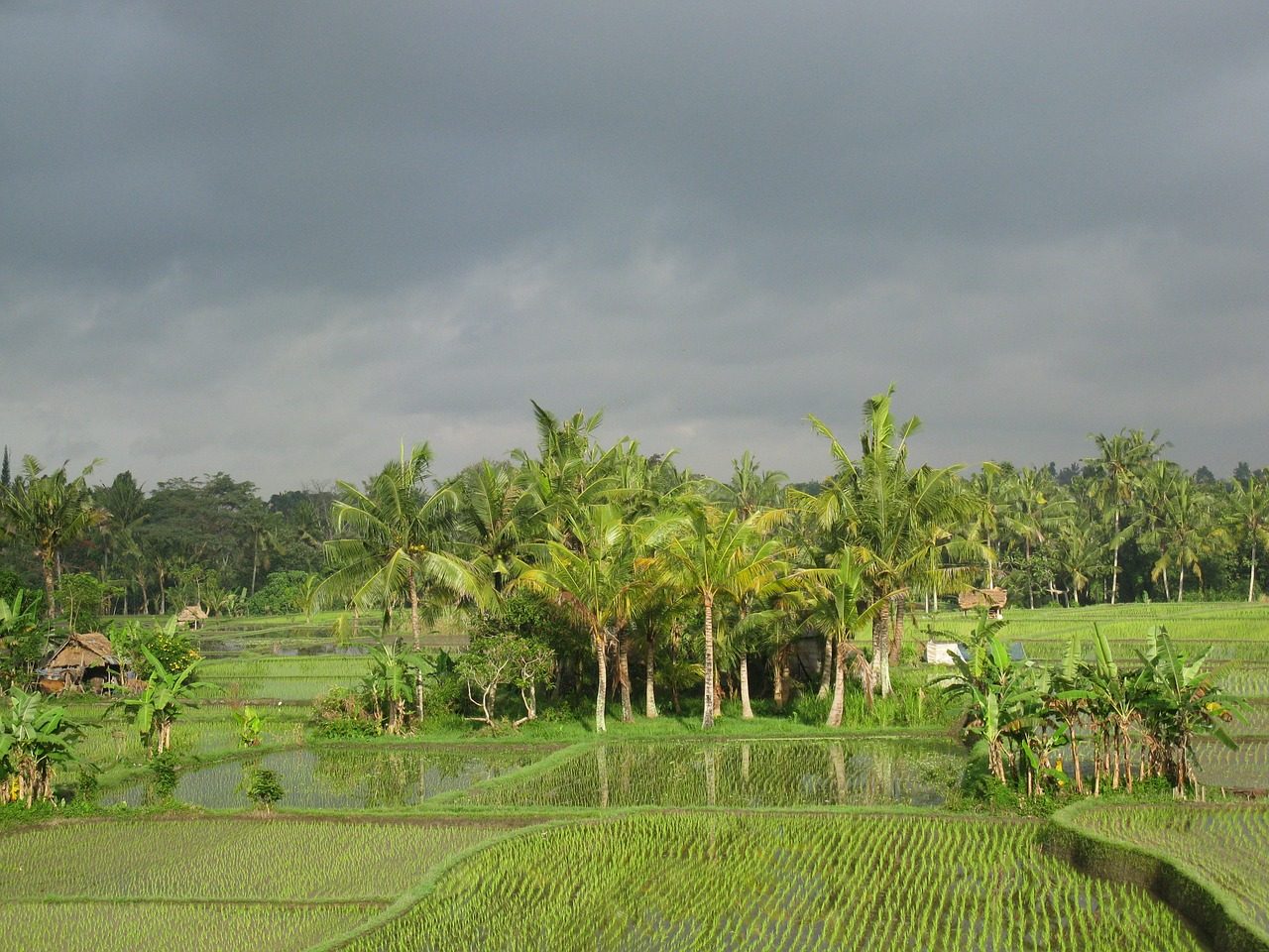 rice field paddy field free photo