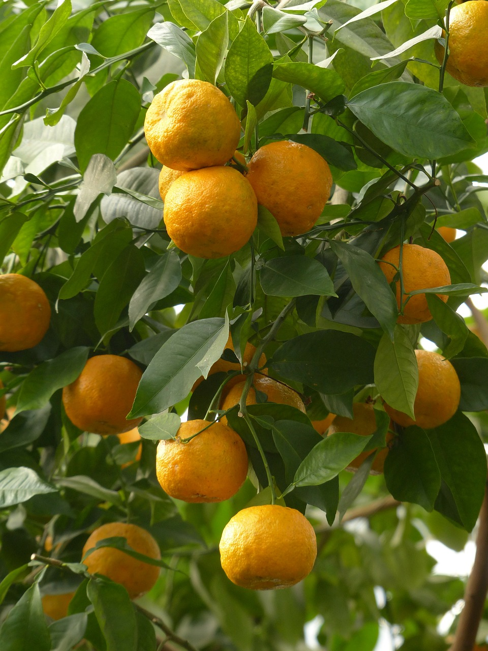 rind fruits bitter oranges free picture