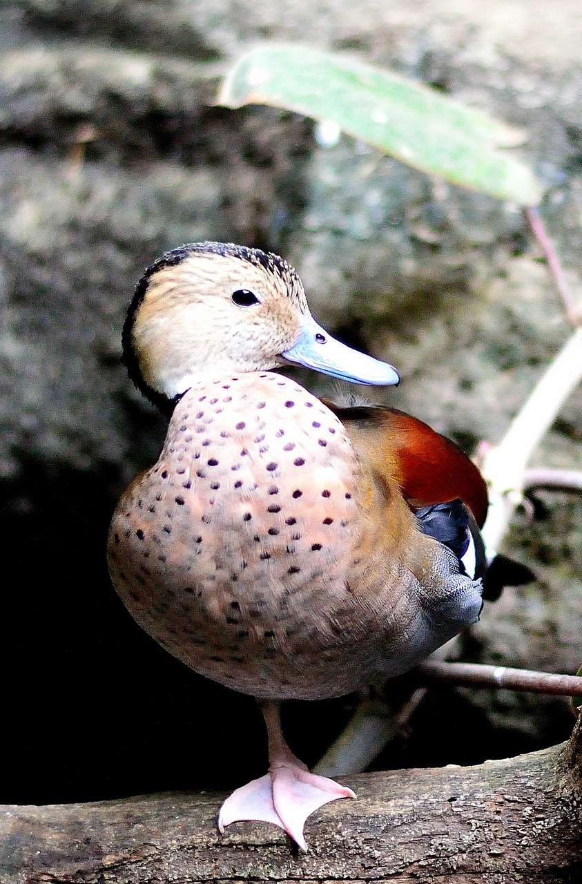 ringed teal duck fowl free photo